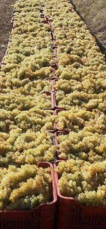 Struguri de vin, viță nobilă 2021
