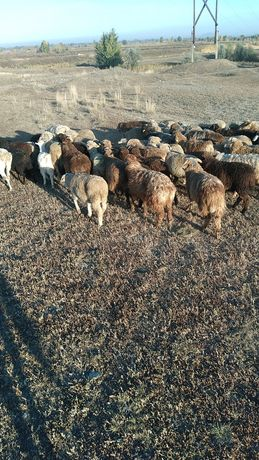 Семиз козы токты койлар