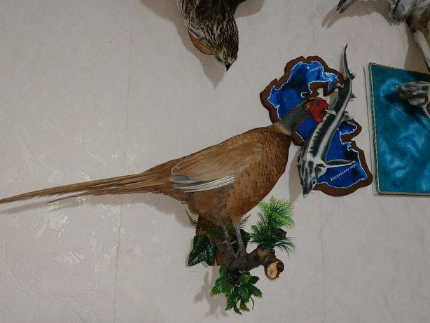 Продам чучело фазана
