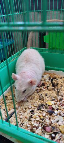 Домашний крыс свинкс