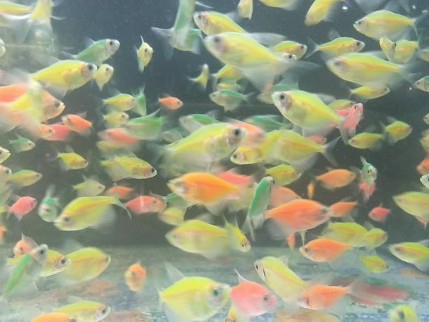 Рыбки тернеция