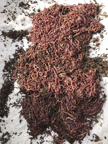 Дождевые черви/калифорнийские черви/биогумус/старатель