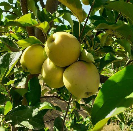 Продам Яблоки с молодого сада, сорт золотой, айдарет. Яблоки вкусные,