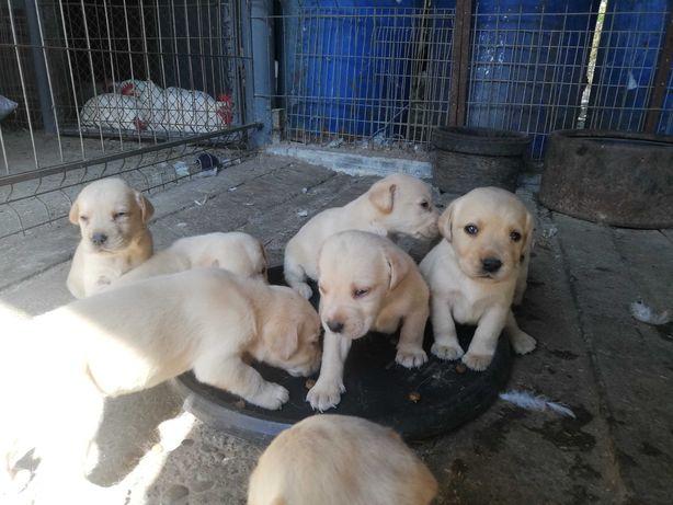Câini labradori aurii