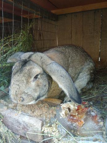 Хорошие кролики -для еды и для разведения