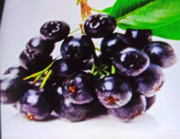 Продам черноплодную рябину