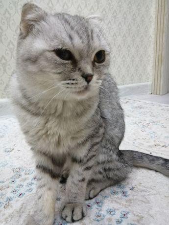 Продаётся шотландская вислоухая кошка, девочка 10 месяцев
