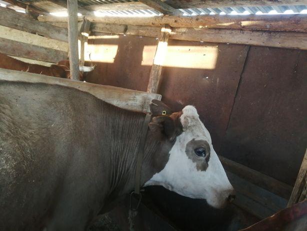 Продам корову хорошую (12-14литр)
