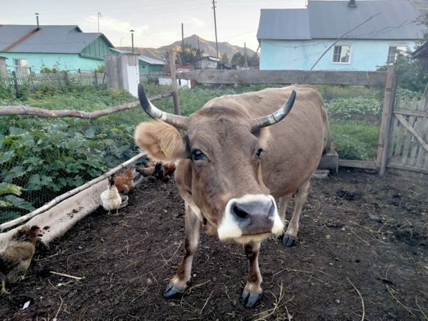 Продам  дойную корову .