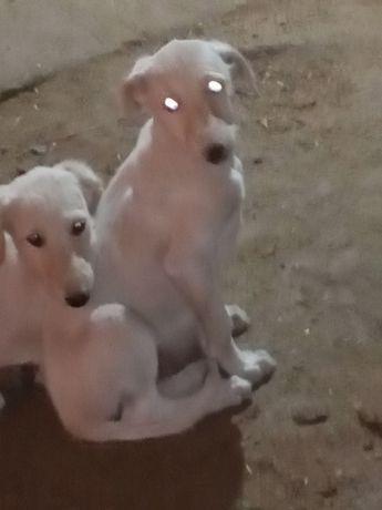 Продаются щенки борзые
