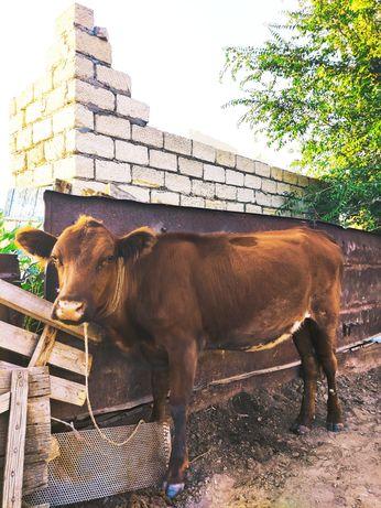қашар баспақ корова