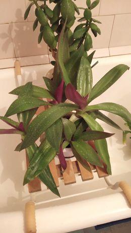 Рэо декоративное, комнатное растение, можно отростками