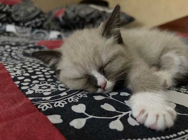 Продам вислоухих шотландских котят