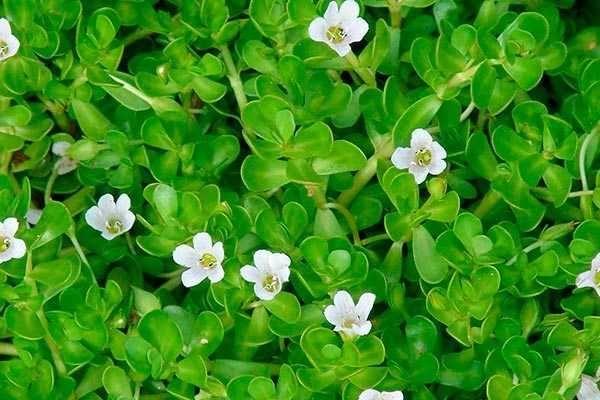 Брахми - уникальное, редкое лечебное растение.