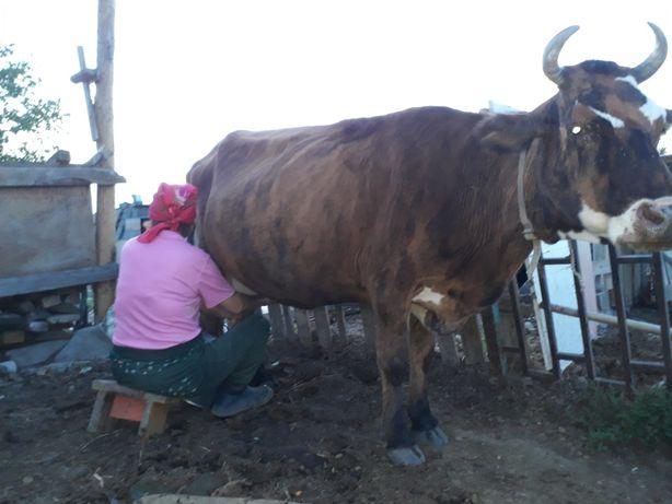 Продаётся Жирная Молочная Корова