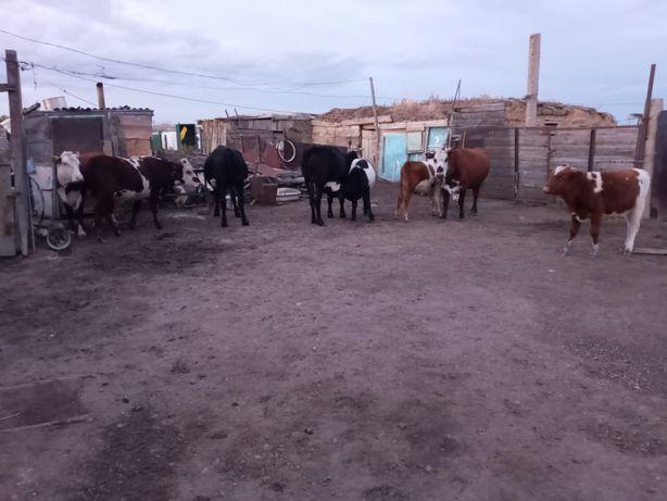 Продается скот 9 голов можете забрать оптом  цена договорная