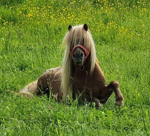 Vând ponei  mascul, femelă și mânz