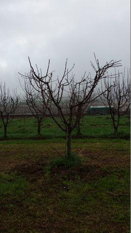 Taieri de rodire si formare pomi fructiferi si arbusti