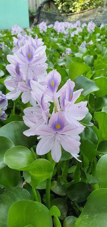 Водяные лилии и гиацинты для прудов бассейнов .