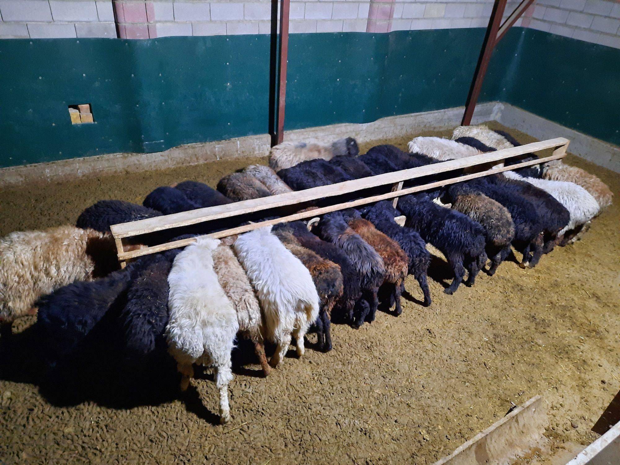 Май семиз кой токты тусак кошкар баран овцы
