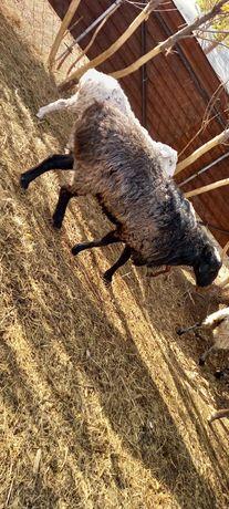 Продам баранов 31 голова.находятся в Анаре