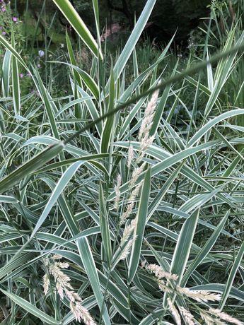 Oferta 2+ 1 Gratis - Stuf bicolor, plante pentru iaz