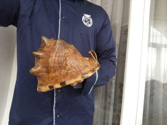 Рядка огромна морска раковина Cypraea