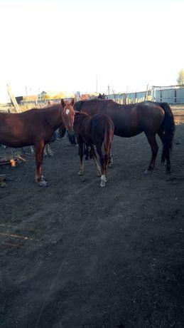Продам лошадей не дорогого