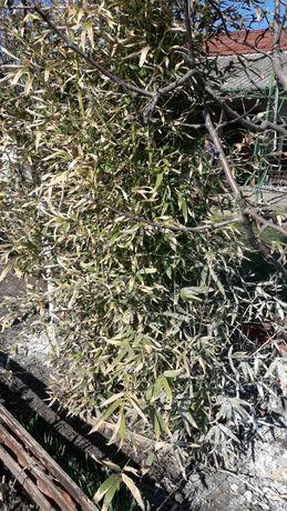 Бамбук студоустоичив