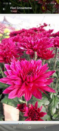 Crizanteme palisade, zembla anastasia