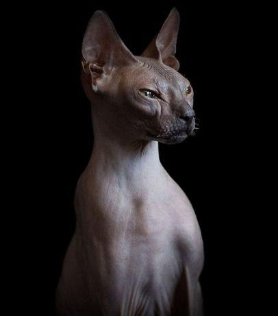 Коты донского сфинкаса