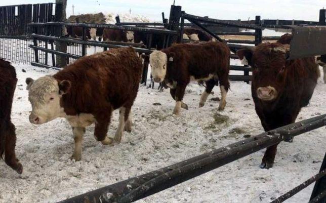 Продаются бычки, тёлки, нетели, коров, телята, абузау, КРС, МРС БЫК586