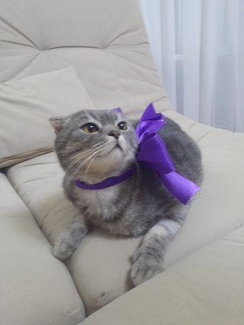 Отдам шотландского котика