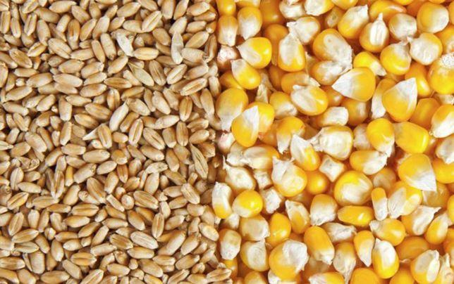 Продаём чисты сухой кукуруза
