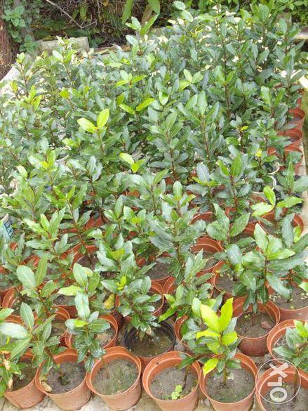 Дафинов лист - Дафина 2-годишен храст растение