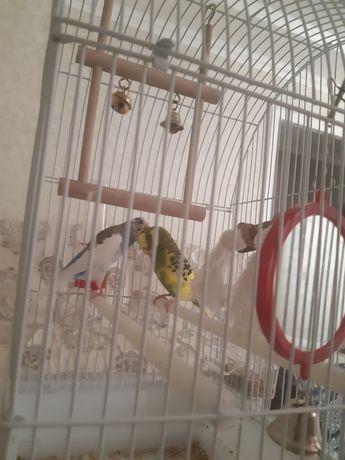 Попугаи волнистые 2 шт продаются срочно