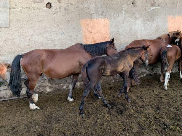 Продам лошадей бие с жеребятами