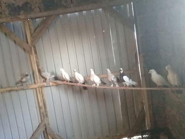 Продам голубей бакинцы