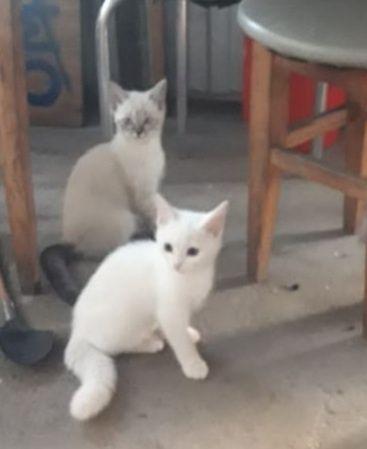 Отдам породистых котят