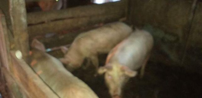 Продам свинку кобанчика