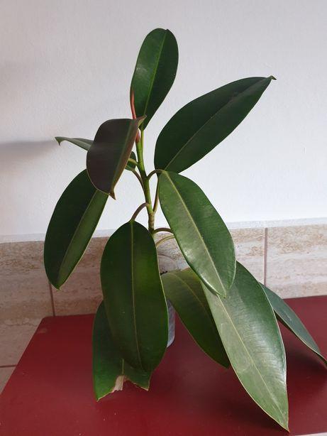Ficus în ghiveci