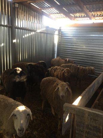 Продам баранов в Астане