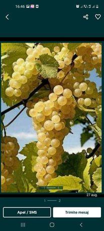 Vând struguri de vin următoarele soiuri Feteasca regala risling