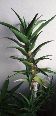 Aloe Vera 1.60cm