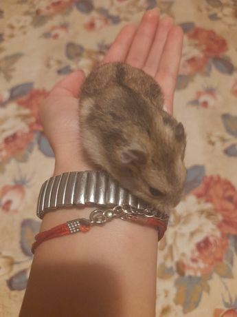 Vand hamsteri de companie