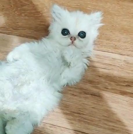 Шиншилла котик Серебристо-чёрный