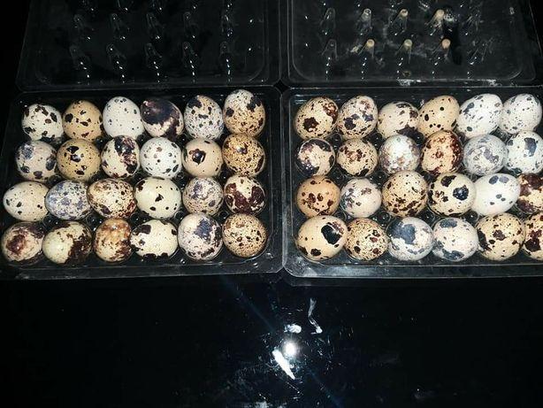 Ouă de prepeliţe