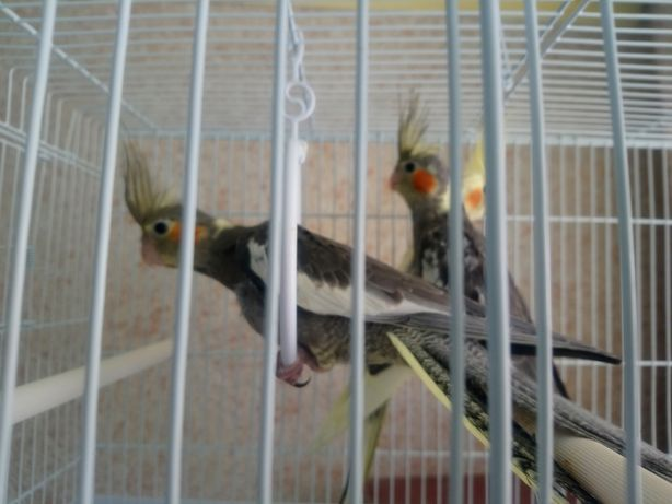 Продам попугаев корелла
