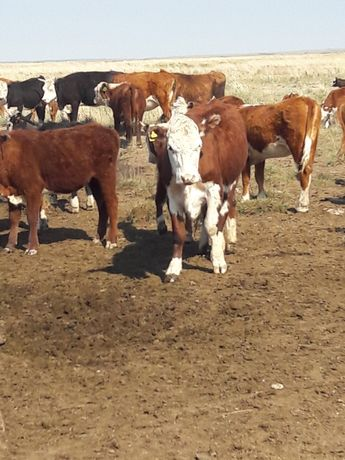 КРС , Корова-300голов с теленками, Бычки-102 голов