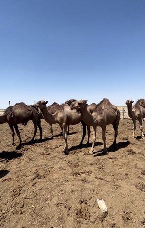 Туйе сатамыз  - продаем Верблюд